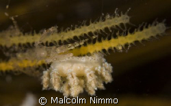 Tiny nudibranch  -- Isles of Scilly   by Malcolm Nimmo 